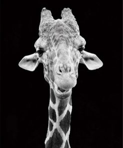 Giraffe Black And White paint by numbers