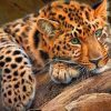 Green Eyes Cheetah paint by numbers