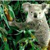 Koala Eucalyptus paint by numbers