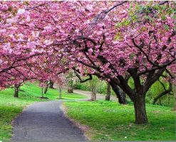 Path Park Cherry Blossom paint by numbers