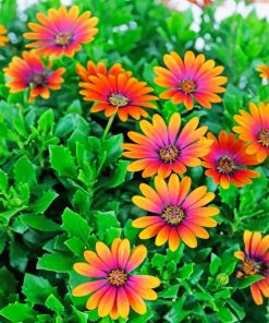 African Daisies paint by numbers