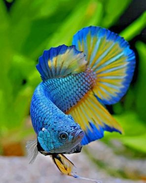 Betta Fish paint by numbers