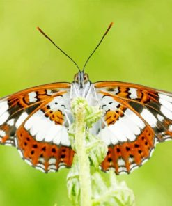 Brown White Butterfly paint by numbers
