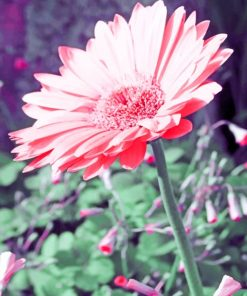Pink Daisy paint by numbers
