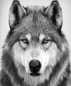 Black And White Wolf Paint by numbers