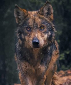 Black And Brown Wolf Paint by numbers