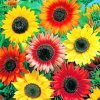 Colorful Sunflowers paint by numbers
