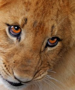 Cute Lion paint by numbers