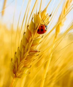 Ladybug On A Grain of Wheat Paint by numbers
