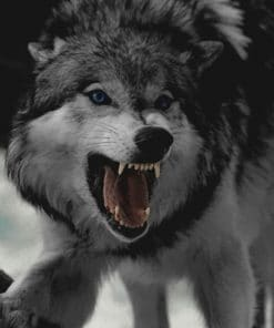 Angry Wolf paint by numbers