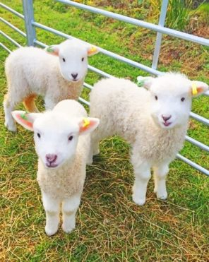 White Fluffy Lambs paint by numbers