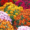 Aesthetic Chrysanthemums Paint by numbers
