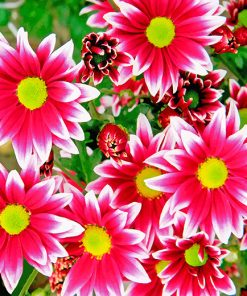 Aesthetic Pink Chrysanthemums Flowers Paint by numbers