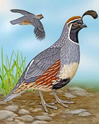 Gambel's Quail Paint by numbers