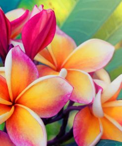 frangipani flower paint by number