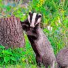 Badger Animal Paint by numbers