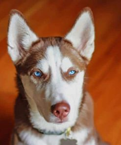 Brown-White-Serbian-Husky-paint-by-numbers