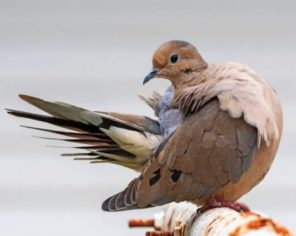 Mourning Dove Bird Paint by numbers