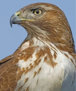 Red-tailed-hawk-2-paint-by-numbers