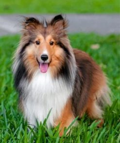 Adorable Sheltie Paint by numbers
