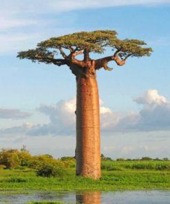 Baobab Tree Paint by numbers