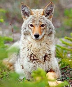 Beautiful Coyote Paint by numbers