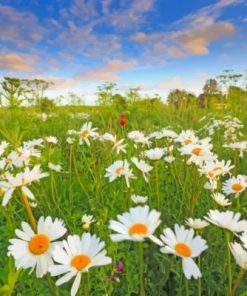 Beautiful Daisies Paint by numbers