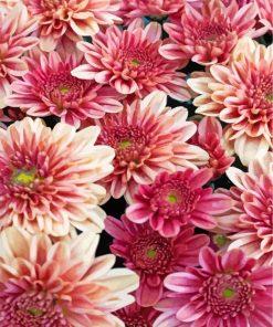 chrysanthemum-flowers-paint-by-numbers