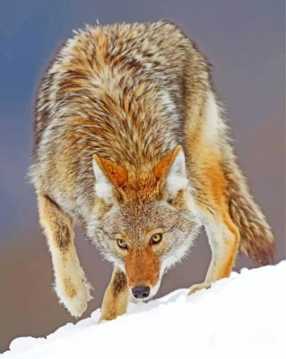 Coyote Animal Paint by numbers