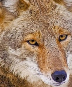 Coyote Face Paint by numbers