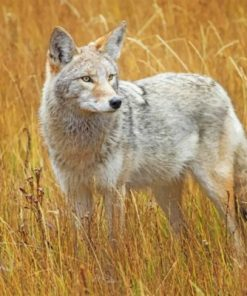 Coyote In A Field Paint by numbers