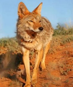 Wild Coyote Paint by numbers