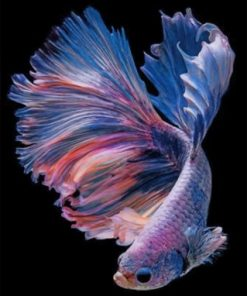 Purple Betta Fishe Vector Paint by numbers