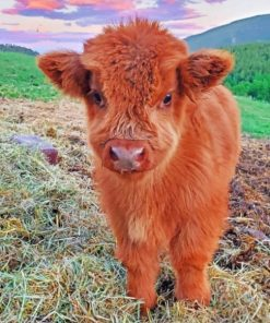 fluffy-highland-cow-baby-paint-by-numbers-510x639-1
