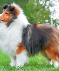 Fluffy Sheltie Paint by numbers
