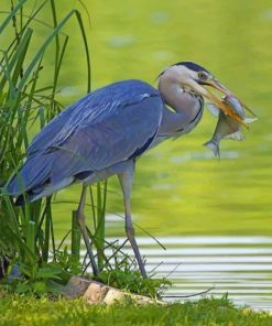 grey-heron-with-fish-paint-by-number