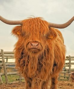 highland-cattle-paint-by-numbers
