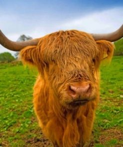 highland-cow-paint-by-number-1-510x407-1