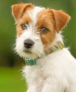 Jack Russell Dog Paint by numbers