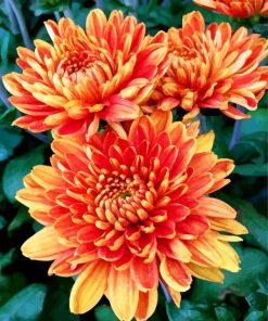 orange-chrysanthemum-paint-by-number