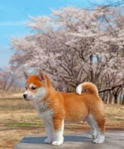 Sakura Shiba Inu Dog Paint by numbers