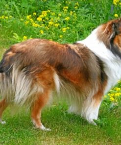 Sheltie Dog Paint by numbers