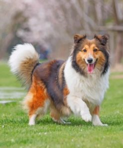 Cute Sheltie Paint by numbers