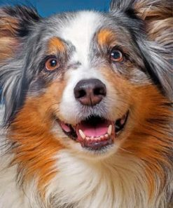 Sheltie Pet Paint by numbers