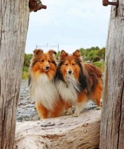 Shelties Dogs Paint by numbers