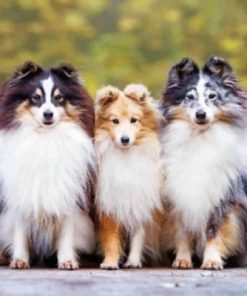 Cute Shelties Dogs Paint by numbers