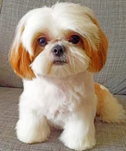 shih-tzu-paint-by-number-1