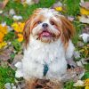 shih-tzu-puppy-paint-by-number