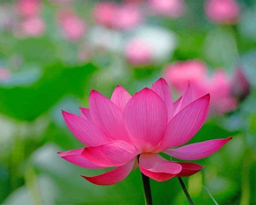 0lotus-flower-painting-by-numbers