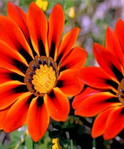 african-daisies-gazania-paint-by-numbers